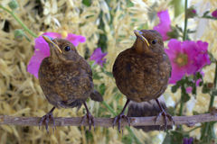 Chicks blackbird on a branch. Nature background. Stock Photos