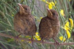Chicks. Blackbirds. Royalty Free Stock Photo