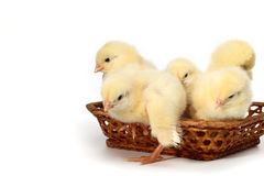 Chicks in a Box Royalty Free Stock Photo
