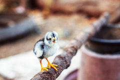 Chicks on a branch. Stock Images