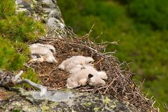 Chicks buzzard. The chicks in the nest behind Buzzard Royalty Free Stock Photo