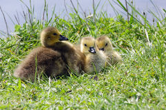 Chicks of Canada goose Royalty Free Stock Photography