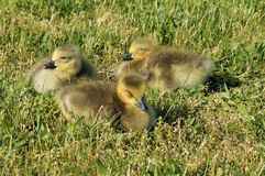 3 Chicks of Canadian Goose sitting in the grass and squinting from sun. One with open eye, two with closed eyes. Close up view. stock photo