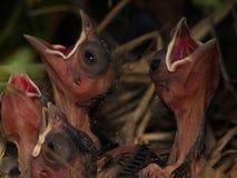 Chicks cardinal Fotos de archivo libres de regalías
