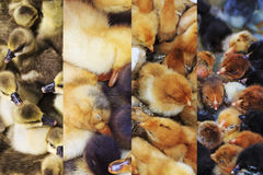 Chicks for chicken farm, 4 species Stock Photography