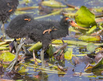 Chicks of Common Moorhen (Gallinula chloropus). Stock Image