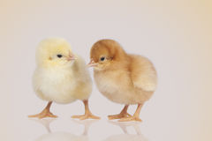 Chicks during the conversation Stock Photo
