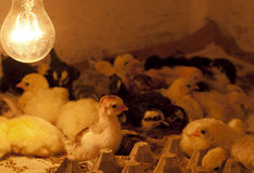 Chicks in coop Stock Photos