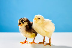 Chicks couple yellow and black on table with blue Stock Photography
