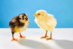 Chicks couple yellow and black on table with blue Royalty Free Stock Images