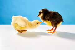 Chicks couple yellow and black on table with blue Stock Photo