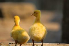 Chicks of duck. Two cute chicks of duck in golden sunlight Royalty Free Stock Photography