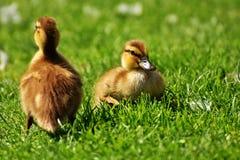 Chicks, Ducklings, Sleep, Mallard Royalty Free Stock Photo