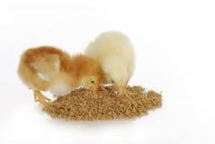 Chicks eating food Stock Photography