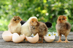 Chicks and egg shells. Small chicks and egg shells stock photo