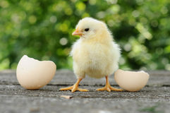 Chicks and egg shells. Small chicks and egg shells stock image