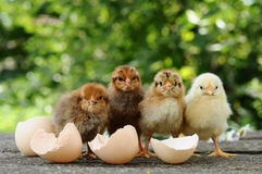 Chicks and egg shells. Small chicks and egg shells royalty free stock photo