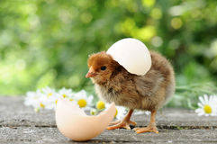 Chicks and egg shells Stock Images