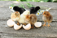 Chicks and egg shells Royalty Free Stock Images