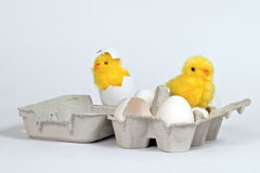 Chicks in eggbox Stock Photos