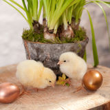 Chicks & eggs Stock Photography