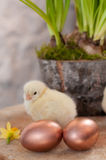 Chicks & eggs Stock Images