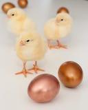 Chicks & eggs Stock Photos