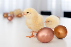 Chicks & eggs Royalty Free Stock Photography