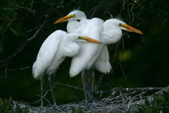 chicks egret great white Στοκ Εικόνα