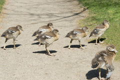 Chicks of Egyptian goose Royalty Free Stock Photography