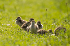 Chicks from a Egyptian goose Stock Photography
