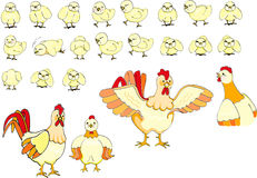Chicks family. A whole family of chicken royalty free illustration