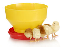 Chicks at the feeder Royalty Free Stock Photo