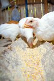 Chicks feeding Stock Photo