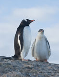 Chicks and female Gentoo penguins. Royalty Free Stock Photo