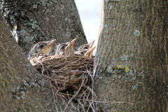 Chicks of fieldfare in nest on a tree waiting for a mother with food Royalty Free Stock Photos