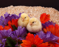 Chicks and Flowers Royalty Free Stock Images