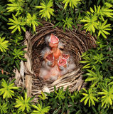 Chicks Hatchling Nest. Chicks hatched in a bird nest with four recently hatched young birds inside as a parenting responsibility symbol supporting and feeding royalty free stock photos