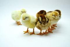 Chicks isolated on white background little chickens. Yellow black farm hen life small studio tiny young baby cute easter fluffy group newborn pet soft spring stock photography