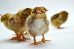 Chicks isolated on white background little chickens. Yellow black farm hen life small studio tiny young baby cute easter fluffy group newborn pet soft spring royalty free stock photos