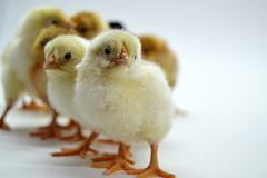 Chicks isolated on white background little chickens. Yellow black farm hen life small studio tiny young baby cute easter fluffy group newborn pet soft spring stock images