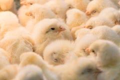 Chicks Stock Photos