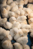 Chicks. Large group of baby chicks in chicken farm Royalty Free Stock Images