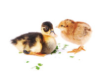 Chicks and a little duck. Two side by side, isolated white background Stock Images