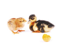 Chicks and a little duck Royalty Free Stock Image