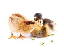 Chicks and a little duck Royalty Free Stock Photos