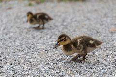 Ducklings go for a walk - wild ducks. Chicks of a mallard go for a walk - offspring of a wild duck Royalty Free Stock Images