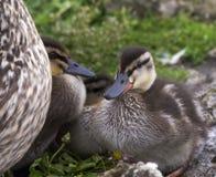Chicks. Mallard chicks in a huddle Royalty Free Stock Image