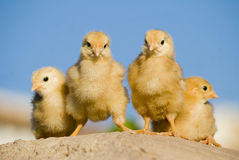 The chicks are mine...... Royalty Free Stock Image