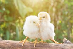 Chicks morning sun The two are cool and sunbathe. stock photography